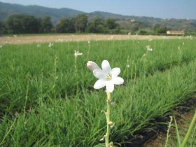 チュベローズ花